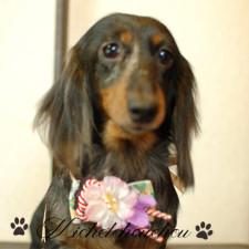 横須賀トリミング 犬の美容 みしぇるしゅしゅ りんちゃん ダックス