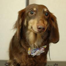 横須賀トリミング 犬の美容 みしぇるしゅしゅ りゅうくん ダックス